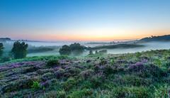 Misty Dawn (nicklucas2) Tags: newforest rockfordcommon tree dawn mist heather bracken