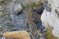 0014 European Wall Lizard, Butrint (1) (tobeytravels) Tags: albania butrint buthrotum illyrian europeanwall lizard greatbasilica
