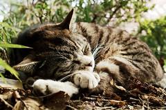 neko-neko1814 (kuro-gin) Tags: cat cats animal japan snap street straycat 猫 sigma dp2