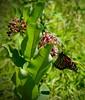 Butterfly (marymorano) Tags: butterfly bugs macroshots monarch flower flickrunitedaward