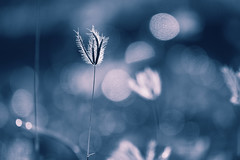 magic light (mariola aga) Tags: puntacana morning sunrise light meadow grass plant blue hue waterdrops bokeh magic art thegalaxy