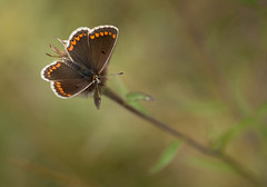 Very fresh,stunning Brown Argus,aricia agestis. (trevorwilson1607) Tags: brownargus ariciaagestis butterfly insect boxhill nationaltrust juniperbottom sunning fresh beautiful brown countryside outdoors woodland resting olympus olympusem5mk2 60mmmacro 400thsecond f28 200iso handheld green flower lepidoptera