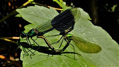The Amorous Humphrey Plugg (hope2029) Tags: damselfly blue green wings leaf shadows canal leeds west yorkshire
