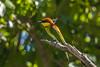 Chestnut-headed Bee-eater (Paradise in Portugal) Tags: chestnutheadedbeeeater bayheadedbeeeater merops leschenaultisri lanka