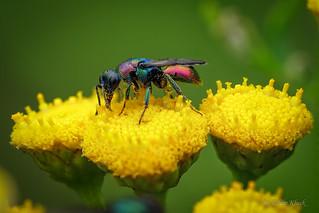 Goldwespe (Chrysididae) auf Rainfarn (Tanacetum vulgare)