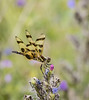 dragon fly (kallo39) Tags: bugloss blueweed dragonfly halloweenpennant celithemis eponinak