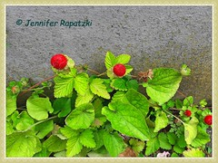 Walderdbeere (Bernsteindrache7) Tags: spring street color red flora fauna fruit farm food früchte garden green house handy outdoor eat dessert