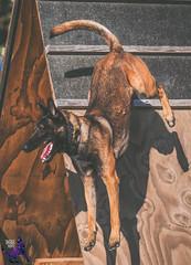 P7162692 (Songdog Studios) Tags: green dog neumond womensretreat 2017 k9 schutzhund ipo