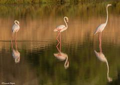 Flamingos  unfold (Fernando Delgado) Tags: flamingo phoenicopterusroseus quintadolago faro morninglight parquenaturaldariaformosa aves birds birdwatching