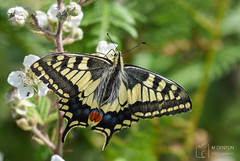 Swallowtail Butterfly (mikedenton19) Tags: swallowtail butterfly papilionidae insect bug strumpshaw fen strumpshawfen rspb nature reserve wildlife papilio machaon papiliomachaon flower