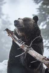 Orphaned Grizzly Bear (robertdownie) Tags: canada sky portrait winter vancouver cold nature tree branch animal cute snow wood looking gray bc wildlife fur bear outdoors wild predator mammal carnivore claws side view omnivore hibernation grizzly ursus arctos horribilis