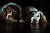 I'll just shut my eyes for a minute ! (TrevKerr) Tags: nikon d3s sb900 yongnuoyn622n 85mmf18 portrait dog englishspringerspaniel flash