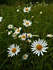 Beautiful meadow flowers daisies (vidaficko) Tags: beautiful meadow daisy daisies bloom blossom white green spring