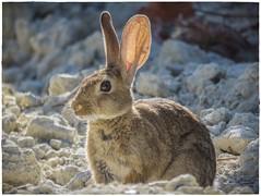 CONEJO (BLAMANTI) Tags: conejos conejo rabbit naturaleza camuflaje