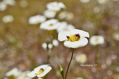(WendieLarson) Tags: wickedhair wendielou wildflower wildflowers white wild flower fleurs flowers fiori flora d7000 sierranevada sequoianationalpark california color bloom blossom bigmeadows nikon nature mountains macro landscape landscapes petals pink outside outdoors