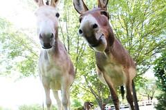 donkey faces (EllenJo) Tags: donkeys burros clarkdaleburros canonrebel july13 2017 ellenjo verdecanyonrailroad depot traindepot equine