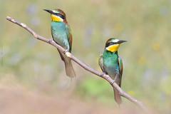 2 x 1 (sergio estevez) Tags: aves azul verde amarillo naranja rojo naturaleza nikonafs300mmf4 bokeh color campodegibraltar desenfoque fauna abejaruco posadero luz
