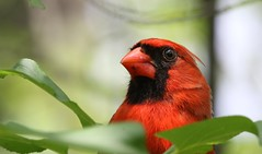 Look at me in the eyes (Jeannine St. Amour) Tags: bird cardinal northerncardinal nature wildlife