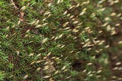 IMG_5304 土馬鬃Polytrichum commune L. ex Hedw.,Narrow Spring Moss (vlee1009) Tags: farn fern 蕨 spores 2017 canon july summer taiwan macro nature 北橫
