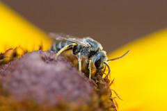 Sweat Bee (Glen in Franklin County) Tags: sweatbee bee insect flower yellow bug garden blackeyedsusan nature pollinate pollination canon 100mm macro backyard yard antennae wing blur