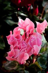 Pink Flowers (Moxibustion) Tags: birds botanicalgardens flowers sydneybotanicalgardens wildlife sydney newsouthwales australia au