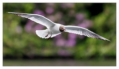 Black-headed Gull (Unintended_Keith) Tags: blackheadedgull rhododendron bushes birdinflight white seagull canon1dx sigma150600mms nature wildlife