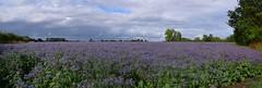 Fields of vivid blue - Borage flowers in Essex. 17 07 2017 (pnb511) Tags: borage fields essex plants trees flowers perennials blue fragrant sky clouds farmland