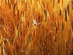 Against (tobymeg) Tags: barley against golden crop scotland farming panasonic dmcfz72 different grain