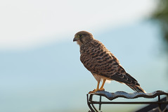 in voller Pracht: Falco tinnunculus 20170718 , NGIDn744613832 (naturgucker.de) Tags: ngidn744613832 naturguckerde falcotinnunculus johannisberg unterebrunnengasse carnolaber