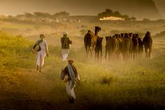 PushkarCamelFair_209 (SaurabhChatterjee) Tags: camel cattlefair desert desertsafari festivalsofindia festivalsofrajasthan pushkar pushkarcattlefairimages pushkarimages pushkarmela pushkarrajasthan saurabhchatterjee siaphototours siaphotographyin