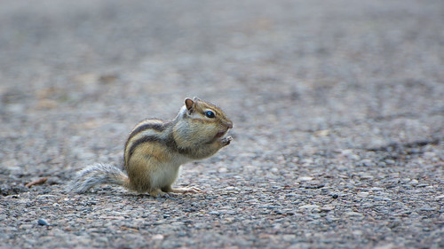Cute Little Chipmunk ©  kuhnmi
