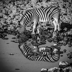 Couldn't Resist (gecko47) Tags: animal mammal horse zebra equine commonzebra equusburchelli burchellszebra waterhole drinking reflection bw blackandwhite monochrome okaukuejocamp etoshanationalpark namibia