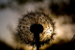 Sunset! (Adventures with a Camera) Tags: sunset dandelion flower wildflowers silhoutte nature naturephotography originalphotography