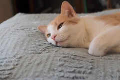 Otis on the chenille island (rootcrop54) Tags: otis dilute orange ginger tabby male cat sunshine smile sunny light chenille neko macska kedi 猫 kočka kissa γάτα köttur kucing gatto 고양이 kaķis katė katt katze katzen kot кошка mačka maček kitteh chat ネコ cc100 cc200