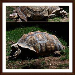 12 - Tours, Jardin botanique, Tortues Sillonnées (melina1965) Tags: juillet july 2007 centrevaldeloire indreetloire tours nikon d80 mosaïque mosaïques mosaic mosaics collages collage macro macros jardin jardins garden gardens