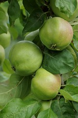 Apfel  (Golden Delicious) (2) (Ellenore56) Tags: 21072017 apfel äpfel apple apfelbaum appletree goldendelicious tafelobst obstsorte frucht früchte kulturapfel dessertfruit fruit kindofapple malusdomestica obst grün green blatt blätter apfelbaumblätter leaf leaves botanik botanical natur nature garten garden flora pflanzenwelt pflanze plant detail moment augenblick sichtweise perception perspektive perspective reflektion reflection reflexion farbe color colour licht light inspiration imagination faszination magic magical sonyslta77 ellenore56 nochnichtreif unreif unripe unripefruit notripe isnotready thetimeisnotripe reifeprozess reifung ripening ripened ripen