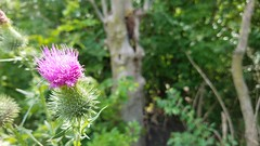 The Ohio State University (dankeck) Tags: cirsium thistle pink columbus franklin franklincounty central ohio