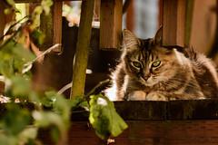 Home Again_3271 (Jonitron) Tags: 2017 color digitalphotography nikon d610 tacoma outdoor pets felines candid spontaneous