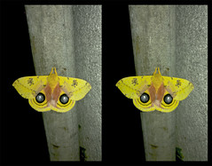 Automeris IO, Male Peacock Moth - Crosseye 3D (DarkOnus) Tags: pennsylvania buckscounty huawei mate8 cell phone 3d stereogram stereography stereo darkonus closeup macro insect automeris io male peacock moth crossview crosseye