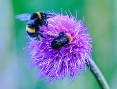 streetfighting bees (I was blind now I see!) Tags: mma streetfighter fight bees bee insects enemies ring octagon circle flower colours bright vivid