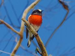 Scarlet Robin (teressa92) Tags: robin bird red feathers blue sky scarlet scarletrobin branch wings dof thegalaxy platinumheartaward