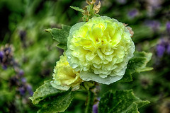 Today heavy Rain  .... (scorpion (13)) Tags: yellow hollyhock flower blossom rain droplets summer plant photoart nature garden color creative leaves light