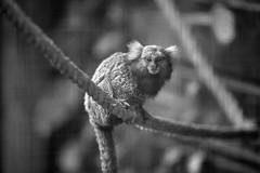 sur la corde (rondoudou87) Tags: pentax k1 monochrome nature natur noiretblanc noir bokeh blanc black blackwhite wildlife wild white monkey parc zoo reynou regard look singe
