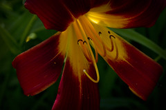 Red Day Lily in Sunlight (brucetopher) Tags: flower red lily daylily yellow sunlight light backlit backlighting garden pistil stamen pollen