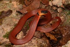 Ring-necked Coffeesnake (amdubois01) Tags: niniasebae ninia coffeesnake snake reptile herpetology yucatánpeninsula yucatán méxico ringneckedcoffeesnake