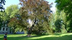 "Fagus sylvatica ""Swat Magret"" (arborist.ch) Tags: treecare tree felling arborist arboriculture baumpflege buche baumklettern treeclimbing"