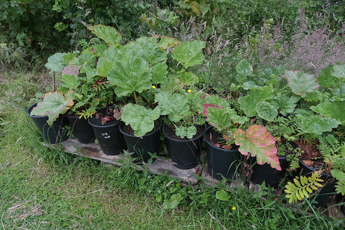 Rhubarb in tubs - Bridgend, Islay