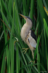 Woudaap - Little Bittern - Ixobrychus minutus -9294 (Theo Locher) Tags: woudaap littlebittern zwergdommel blongiosnain ixobrychusminutus vogels birds vogel oiseaux nederland netherlands copyrighttheolocher