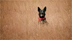 a handsome boy in high grass (marneejill) Tags: happy joyous jumping tongue field kerchief wild grass