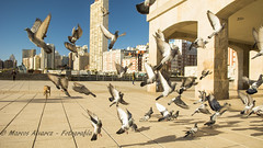 """Palomas, vuelo de escape"" - ""Pigeons, escape flight"" (marcos.h_alvarez) Tags: vuelo palomas escape pigeons fligh aves birds paseo walk larambla mardelplata argentina urban cityscape"